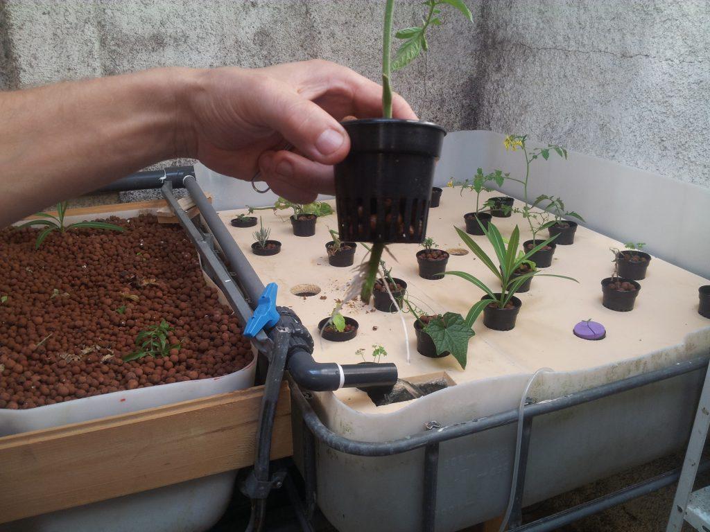 aquaponie, jardin sans terre.