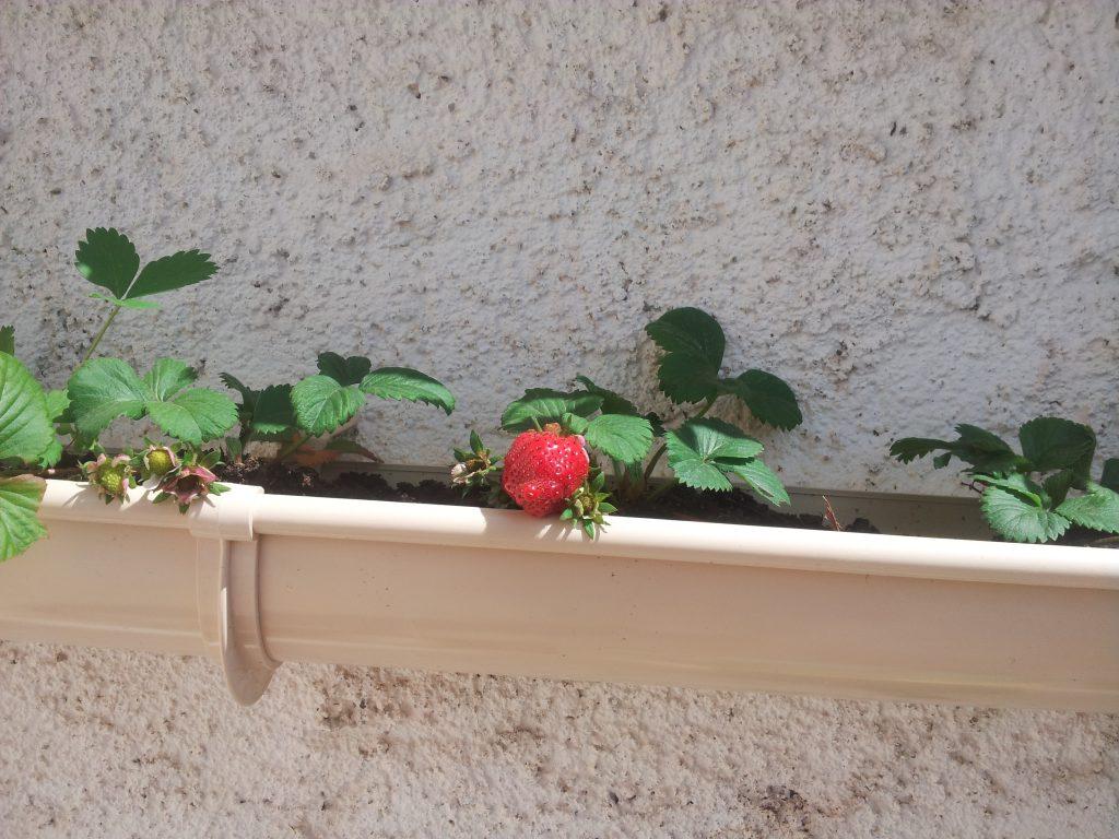 fraisiers dans une gouttiere jardi brico. Black Bedroom Furniture Sets. Home Design Ideas