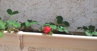 fraisiers dans une gouttiere