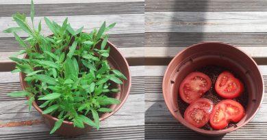 plantation avec une tomate pour faire des pied de tomates